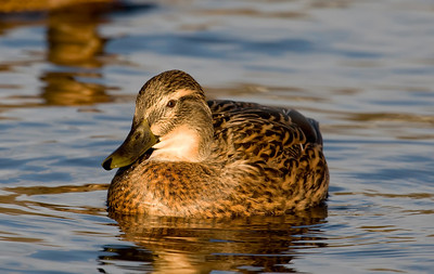 "The obligatory ""duck"" shot that has to be taken with any new camera and in my case the canon 1D mk111"