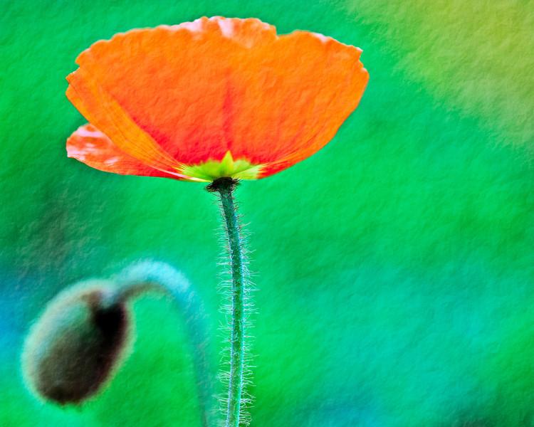 orange poppy with textured background