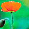 orange poppy with textured background