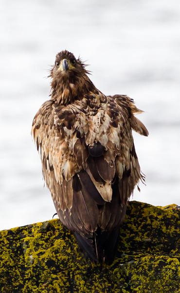 Juvenile white tailed sea eagle