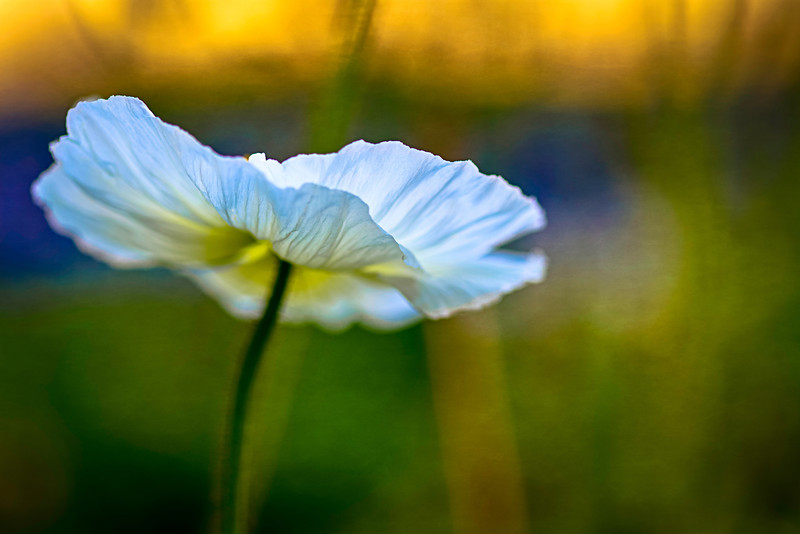 a poppy in late afternoon light