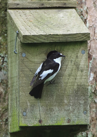male pied flycatcher at its nest box