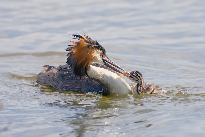 great crested grebe feeding its young with a fish