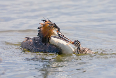 Great crested grebe feeding its young