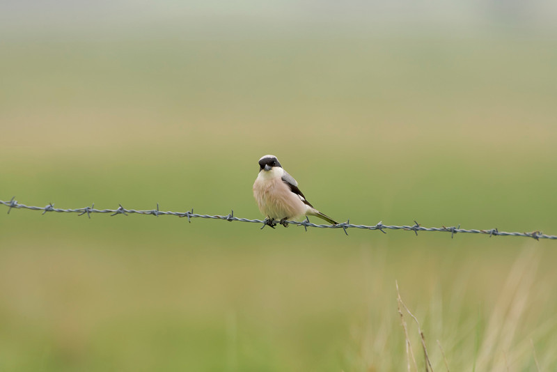 very rare lesser grey shrike