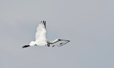 Spoonbill in flight