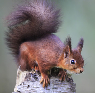 red squirrel sitting on a broken tree trunk.
