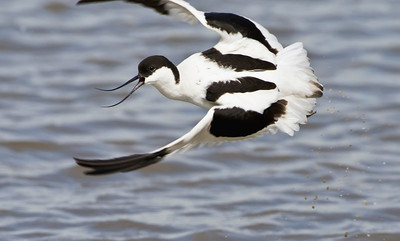avocet, Blacktoft sands