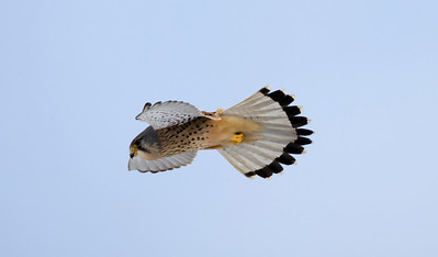 Male kestrel hovering
