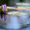 emerging water lily