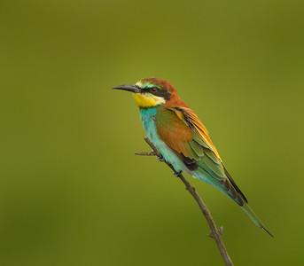 Eurasian Bee-eater, Kenya