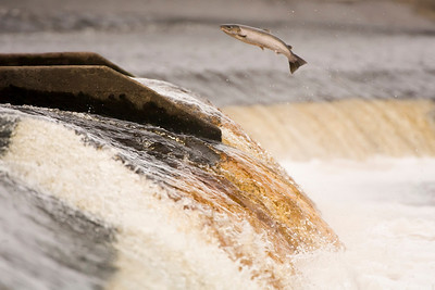 Sea trout (i think!) leaping up a weir