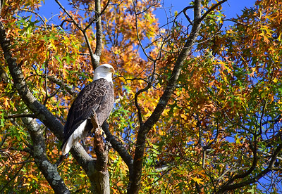 Bald Eagle in Fall