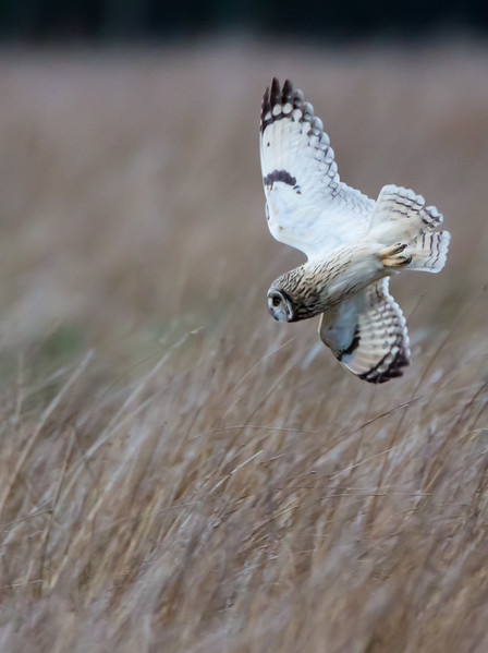 Short eared owl swooping down for the kill