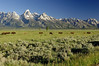 When I was at the Tetons I saw a lot of buffalo