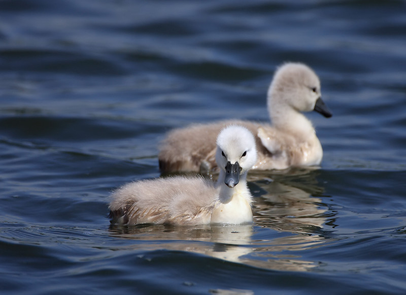 a pair of cygnets on a lake