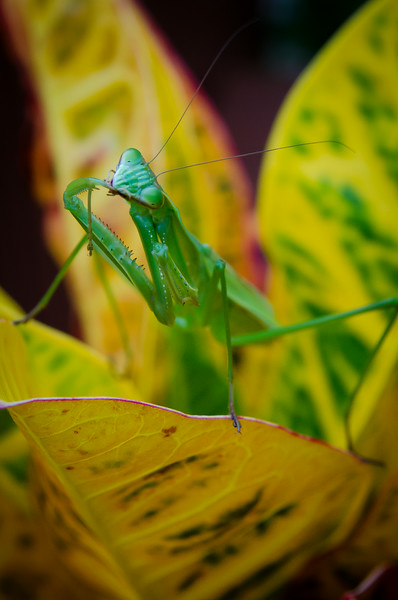 Praying Mantis Grooming