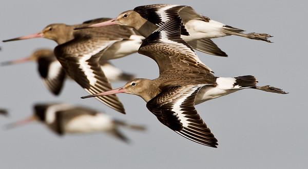Black tailed godwit, Blacktoft Sands