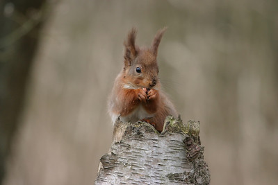 red squirrel at Gosforth Park nature reserve, North east, England