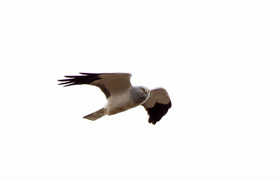 Male hen harrier in flight
