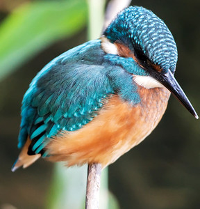 Juvenile kingfisher