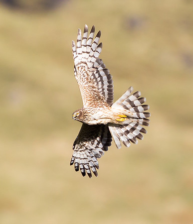 female hen harrier in flight
