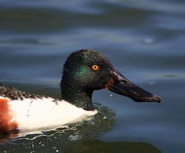 close up of a drake shovel duck at Rutland Water, Leicestershire, England
