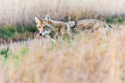 Closeup of coyote standing in tall grass.
