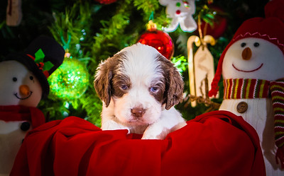 Puppys xmas pictures 11-27-2016-5