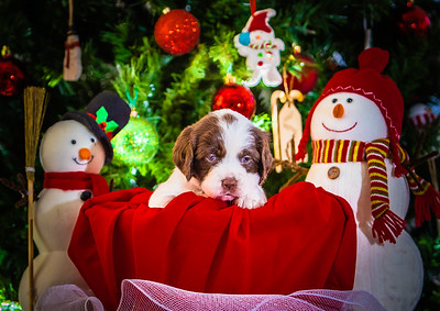 Puppys xmas pictures 11-27-2016-6