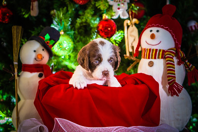 Puppys xmas pictures 11-27-2016-2