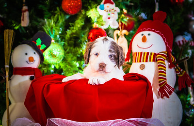 Puppys xmas pictures 11-27-2016-10