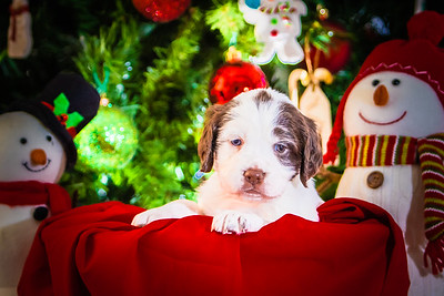 Puppys xmas pictures 11-27-2016-11