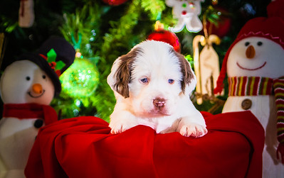 Puppys xmas pictures 11-27-2016-13