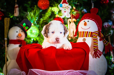 Puppys xmas pictures 11-27-2016-12