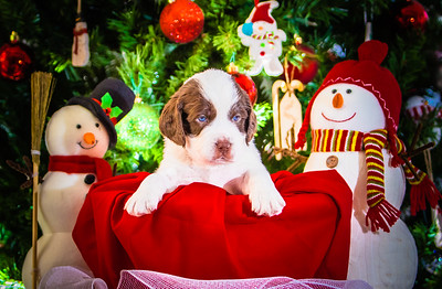 Puppys xmas pictures 11-27-2016-14