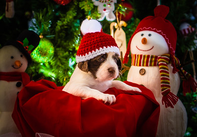 Puppys xmas pictures 11-27-2016-1