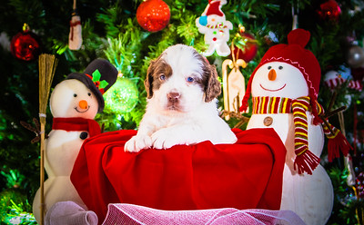 Puppys xmas pictures 11-27-2016-16