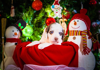 Puppys xmas pictures 11-27-2016-8