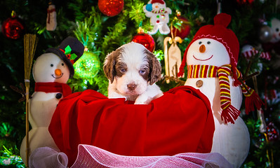 Puppys xmas pictures 11-27-2016-4