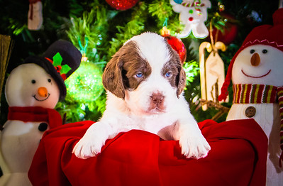 Puppys xmas pictures 11-27-2016-15