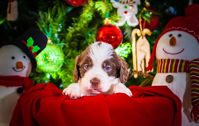 Puppys xmas pictures 11-27-2016-19