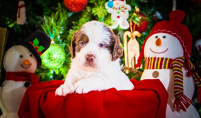 Puppys xmas pictures 11-27-2016-17