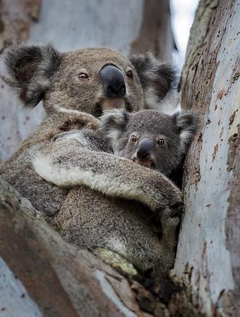 CL 91 Koala Love