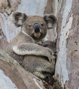 CL 93 Koala Love