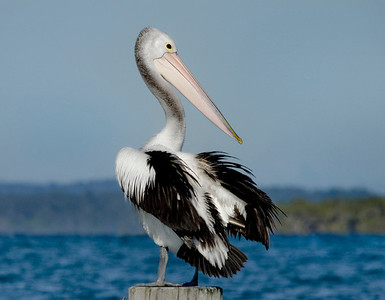 NSI 03 Pelican Paradise