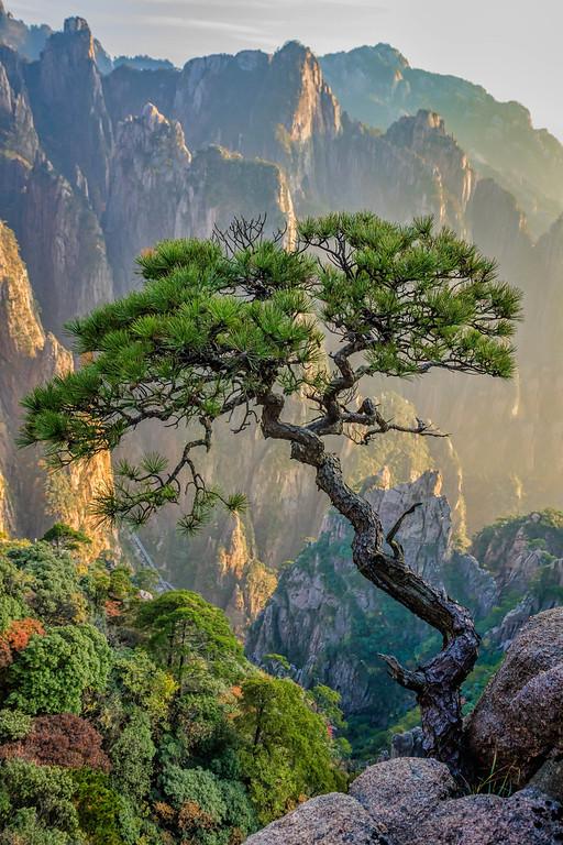Tree in Huangshan