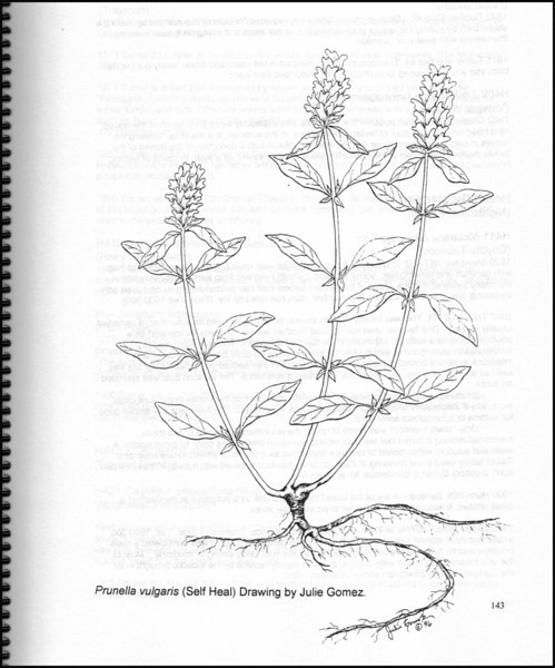 """""""Self Heal"""" illustration (page 143) from """"Medicinal Plants of the Pacific Northwest"""" by Krista K. Thie (Longevity Herb Press, 1999)"""