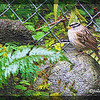 White-crowned sparrow (male).  (Photo art, colored chalk.) 4-2012