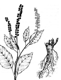 "Pokeweed (Phytolacca americana)--pen & ink illustration from my book ""Deadly Herbs""--Order your copy at: <a href=""http://www.amazon.com/Guide-Deadly-Herbs-Julie-Gomez/dp/0888393970/ref=sr_1_3?s=books&ie=UTF8&qid=1333673494&sr=1-3"">http://www.amazon.com/Guide-Deadly-Herbs-Julie-Gomez/dp/0888393970/ref=sr_1_3?s=books&ie=UTF8&qid=1333673494&sr=1-3</a>"